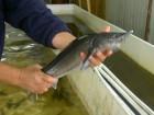Живая рыба - осетр, стерлядь, бестер 0,5 - 10 кг