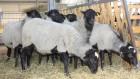 Продам молодых овечек Романовской породы