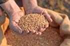 """уплю фуражну пшеницю ÷ентральна, «ах≥дна """"крањна"""