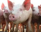 Свинина живым весом, откорм! Любой объем.(Фермерское качество)