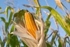 Закупаем кукурузу по высокой цене