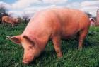 Куплю свиней живой вагою
