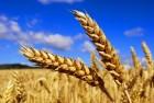 Куплю пшеницу, кукурузу. Дорого!!!