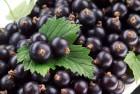 чорнa смородинa, ягоды черной смородины, У нас є тара та упаковка