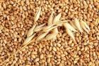Продам пшеницу 2 - 6 класс