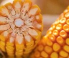"Семена кукурузы ""ЛГ 3395"" (Лимагрейн)"