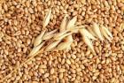 Закупаем ячмень, пшеницу, горох, рапс, нового урожая