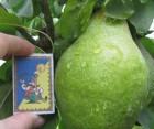 Продам найсмачніші груші з власного саду. Врожай 2018 року