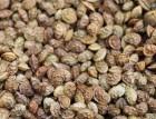 Семена эспарцета (песчаный)