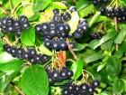 Арония черноплодная или Черноплодная рябина опт