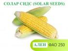 Семена кукурузы Ален ФАО 250 Солар сидс (solar seeds - Франция)