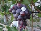 Чубуки винограда. Херсонская область