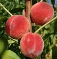 Продам персик ранних сортов
