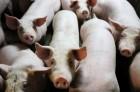 Свиньи живой вес
