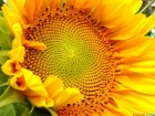 Семена подсолнечника Лимит (Евролайтинг)