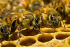 Продам 4-х рамкові пакети бджіл