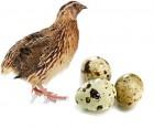 Инкубационные перепелиные яйца Эстонец