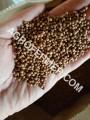 —емена кориандра PUEBLO анадский трансгенный сорт двуручка