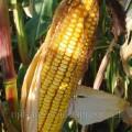 Продам семена кукурузы ДКС3472-ФАО270