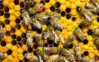 Продам бджоли та бджолосім*ї