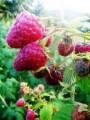 —аженцы малины сорт «ева