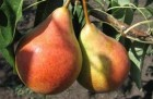 """Продам саджанці груші щеплені на айві (""""бера літня"""" і """"ноябрс..."""