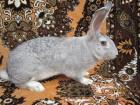 Порода кролів  Радянська Шиншила