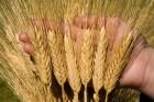 ѕродаетс¤ пшеница 2-го класса