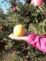 "яблоки продажа. √ќЋƒ≈Ќ,ј…ƒј–≈ƒ,√Ћќ—""≈–,—ѕј–""јЌ,'Ћќ–»Ќј,—»ћ»–≈Ќќ"