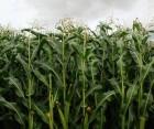 Продам семена кукурузы селекта МЭЛ 272 (Selekta Seeds)
