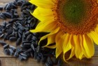 закупаем семена подсолнечника любого качества