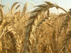 покупаем пшеницу по высоким ценам с поля и в порту