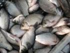 продам живую рыбу малька:карп,амур,товсто лоб,линь....