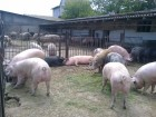 Закупаю свиней мясного направлении дорого