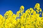 Ріпак озимий(насіння) Клеопатра РС, стійкий до гліфосату до 4 л/га