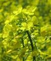 Ріпак озимий (насіння) Снігова Королева