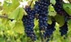 Закарпатське домашне вино