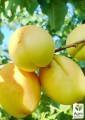 Закупаем абрикос на заморозку, переработку (Вся Украина)