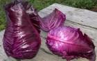 Продам салатную капусту Калибос