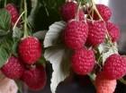 —аженцы/ ћалина (ягода)