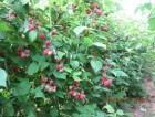 продам садженці малини урожайність до 30 т. га. Октавія, Глен Емпл,