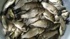Продам живую рыбу оптом от 100 кг. карп, амур, сом, толстолоб, щука.