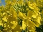 насіння озимого ріпаку -Поляріс РС