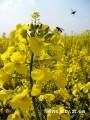 насіння озимого ріпаку -Річард РС