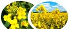 насіння озимого ріпаку -Голденпак РС