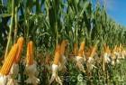 «акупаем кукурузу