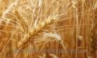 Закупаю Пшеницу.