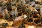 Ѕджоломатки (пчеломатки, матки) Ѕакфаст F 1