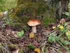 Мицелий Белый гриб березовый