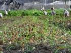 Мицелий сморчка - семена грибов Сморчки разных видов, гарантия!